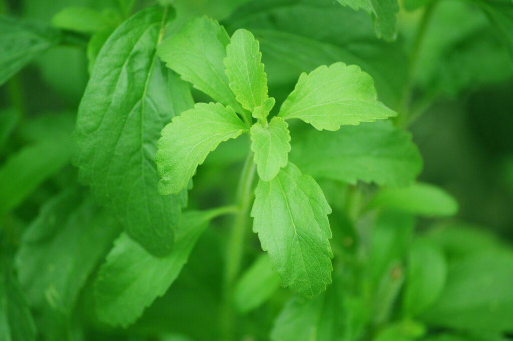 Listy stévie jsou dvacetkrát sladší než cukr.