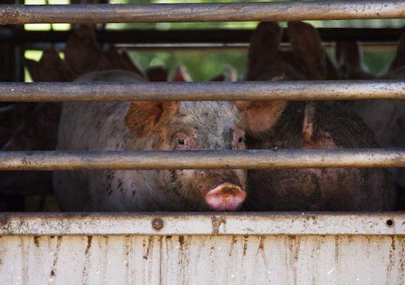 Živočišná výroba je výrazně neekologická.