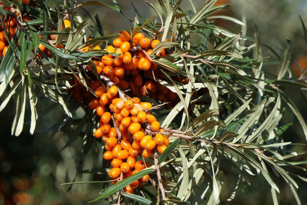 Plody rakytníku jsou známé pro své léčebné účinky.